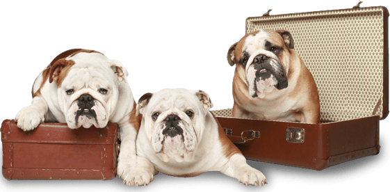 Huskerland Bulldogs English French Bulldog Puppies Akc Registered