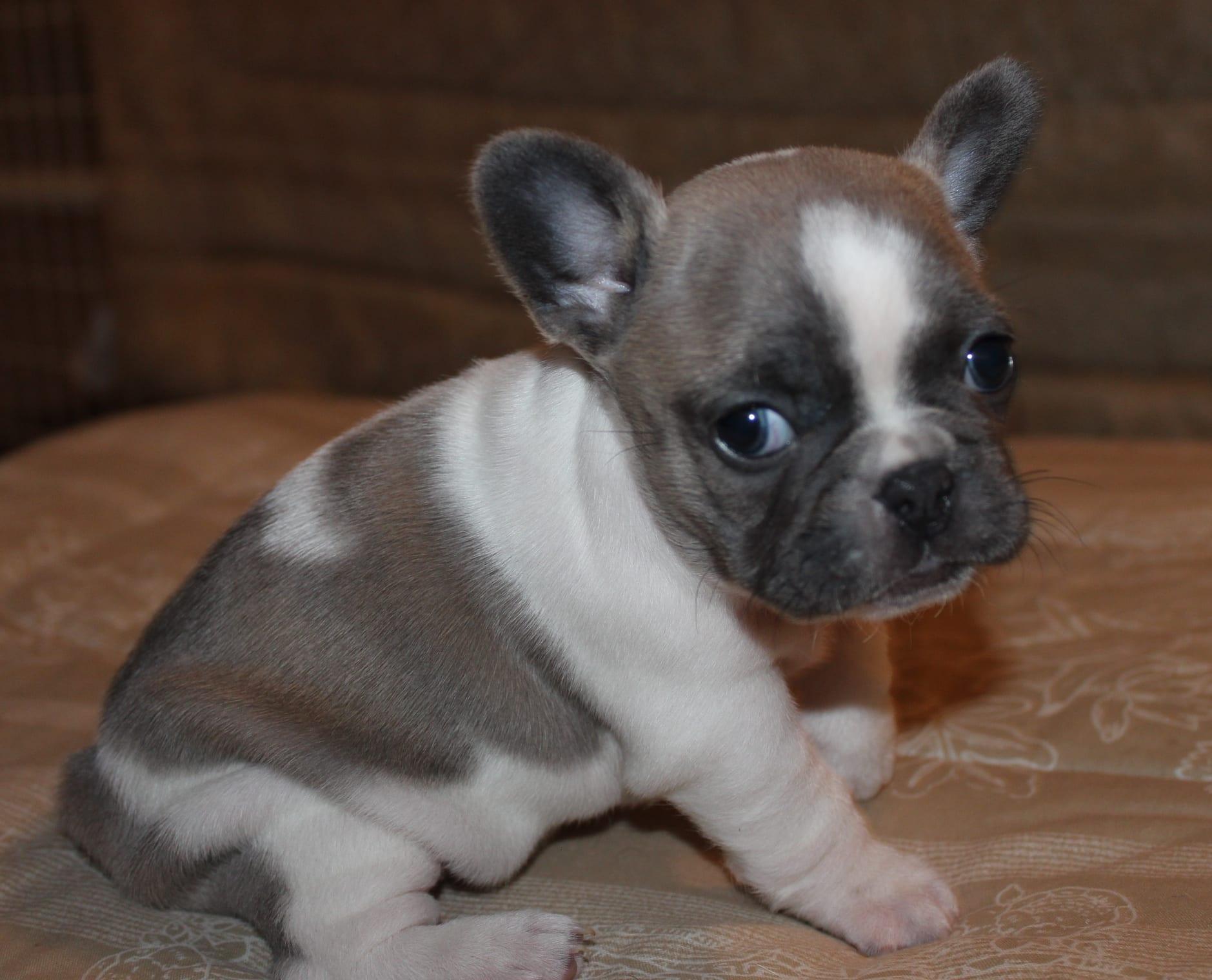 Bulldog Puppy Training Huskerland Bulldogs Best Puppy Prices