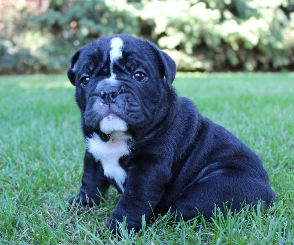 Bulldog Puppy Grooming