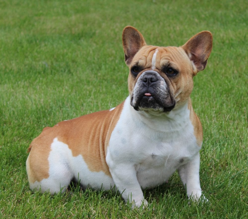 Adult English  French Bulldogs  Huskerland Bulldogs