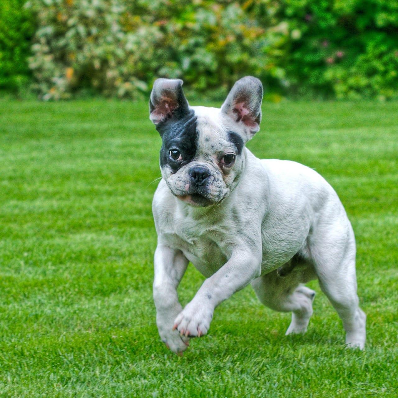 control bulldog jumping & biting