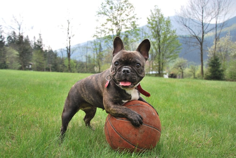 French Bulldog Exercise needs