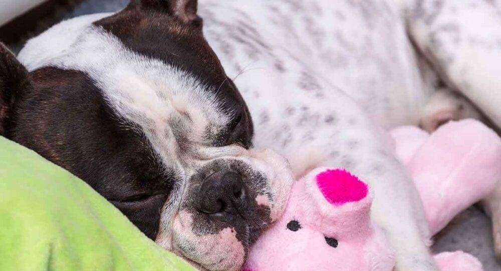 Best French Bulldog Treats