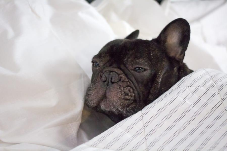 French Bulldog vomits